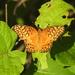 Mariposa Organillo Oscura - Photo (c) Juan Cruzado Cortés, algunos derechos reservados (CC BY-SA)