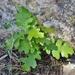 Quercus gambelii - Photo (c) Annika Lindqvist, alguns direitos reservados (CC BY)