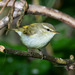 Greenish Warbler - Photo (c) Александр, some rights reserved (CC BY-NC-SA)