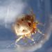 Phoroncidia testudo - Photo (c) Albert Kang, algunos derechos reservados (CC BY-NC)