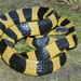 Banded Krait - Photo (c) Rohit Giri, some rights reserved (CC BY-NC)