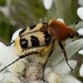 Bee Beetles - Photo (c) monica2020, some rights reserved (CC BY-NC)