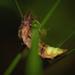 Πυγολαμπίδα - Photo (c) Kentish Plumber, μερικά δικαιώματα διατηρούνται (CC BY-NC-ND)