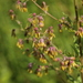 Thalictrum simplex - Photo (c) sokolkov2002, algunos derechos reservados (CC BY-NC)
