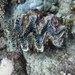 Tridacna rosewateri - Photo (c) joe_fish, osa oikeuksista pidätetään (CC BY-NC)