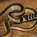 Dwarf Sand Snake - Photo (c) Bart Wursten, some rights reserved (CC BY-NC)