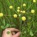 Lomatium nudicaule - Photo (c) freelc, algunos derechos reservados (CC BY-NC)