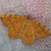 Rannoch Looper Moth - Photo (c) a_anctil, some rights reserved (CC BY-NC)
