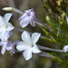 Ipomopsis longiflora - Photo (c) amy_buthod, osa oikeuksista pidätetään (CC BY-NC-SA)