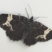 Spear-marked and White-banded Black Moths - Photo (c) Jennifer Aitkens, some rights reserved (CC BY)