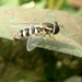 Ischiodon - Photo (c) Subhajit Roy,  זכויות יוצרים חלקיות (CC BY-NC-ND)