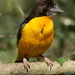 Dark-backed Weaver - Photo (c) Derek Keats, some rights reserved (CC BY)