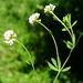 Lotus herbaceus - Photo (c) Patrick Hacker, algunos derechos reservados (CC BY)