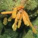 Polyzoa opuntia - Photo (c) Mariano Rodriguez, μερικά δικαιώματα διατηρούνται (CC BY-NC)
