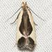 Gelechioidea - Photo (c) John Morgan, μερικά δικαιώματα διατηρούνται (CC BY-NC)