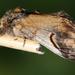 Notodonta - Photo (c) Thijs  Calu,  זכויות יוצרים חלקיות (CC BY-NC-ND)