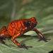 Little Devil Poison Frog - Photo (c) Brian Lee, some rights reserved (CC BY-NC)