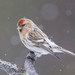 Redpolls - Photo (c) Ron Knight, some rights reserved (CC BY)