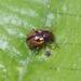 Pagria signata - Photo (c) sunnetchan, algunos derechos reservados (CC BY-NC-SA)