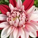 Garden Dahlia - Photo (c) Robert Levy, some rights reserved (CC BY-NC)