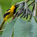 Yellow-tailed Oriole - Photo (c) Bill Lynch, some rights reserved (CC BY-NC-ND)