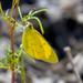 Eurema smilax - Photo (c) Michael Jefferies, osa oikeuksista pidätetään (CC BY-NC)