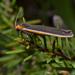 Palaeosia - Photo (c) Tony, algunos derechos reservados (CC BY-NC-SA)