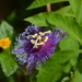 Passiflora 'Incense' - Photo (c) Jon McIntyre, some rights reserved (CC BY-NC)