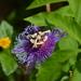 Passiflora incarnata × cincinnata - Photo (c) Jon McIntyre, algunos derechos reservados (CC BY-NC)