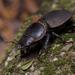 Apterodorcus bacchus - Photo (c) javiergross, osa oikeuksista pidätetään (CC BY-NC)