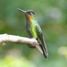 Fiery-throated Hummingbird - Photo (c) Carol Foil, some rights reserved (CC BY-NC-ND)