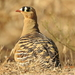 Typical Sandgrouse - Photo (c) Rujuta Vinod, some rights reserved (CC BY-NC)