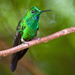 Green-crowned Brilliant - Photo (c) Kathy & sam, some rights reserved (CC BY)