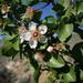 Prunus fremontii - Photo (c) Florian Boyd, algunos derechos reservados (CC BY-SA)