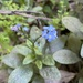 Broadleaf Forget-Me-Not - Photo (c) Ryan Terrill, some rights reserved (CC BY-NC)