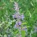Isokissanminttu - Photo (c) fabelfroh, osa oikeuksista pidätetään (CC BY-NC-SA)