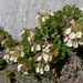 Teucrium pyrenaicum pyrenaicum - Photo (c) Ron Frumkin, algunos derechos reservados (CC BY-NC)