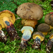Xerocomellus rainisiae - Photo (c) noah_siegel, some rights reserved (CC BY-NC-SA)