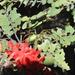 Pyranthus tullearensis - Photo (c) thierrycordenos,  זכויות יוצרים חלקיות (CC BY-NC)