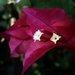 Garden Bougainvillea - Photo (c) Arnab Basu, some rights reserved (CC BY)
