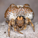 Southern Bolas Spider - Photo (c) Marshal Hedin, some rights reserved (CC BY-NC-SA)
