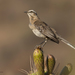 Chilean Mockingbird - Photo (c) javiergross, some rights reserved (CC BY-NC)
