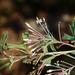 Grevillea manglesii - Photo (c) Timothy Hammer, osa oikeuksista pidätetään (CC BY)