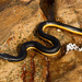 Yellow-bellied Sea Snake - Photo (c) Tyrone Ping, some rights reserved (CC BY-NC)