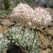 Eriogonum ovalifolium purpureum - Photo (c) tangojuli, algunos derechos reservados (CC BY-NC)