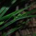Carex digitalis - Photo (c) Zihao Wang, algunos derechos reservados (CC BY)