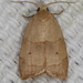 Batman Moth - Photo (c) stuartmarcus, some rights reserved (CC BY-NC)