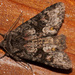 Cuneate Arches Moth - Photo (c) Jim Johnson, some rights reserved (CC BY-NC-ND)