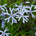 Cleft Phlox - Photo (c) illinoisbotanizer, some rights reserved (CC BY-NC), uploaded by illinoisbotanizer