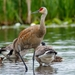 Lesser Sandhill Crane - Photo (c) Frank Lin, some rights reserved (CC BY-NC)
